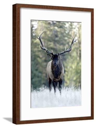 A Bull Elk, Cervus Canadensis, Stands in a Frost Covered Meadow-Barrett Hedges-Framed Art Print