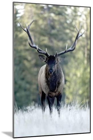 A Bull Elk, Cervus Canadensis, Stands in a Frost Covered Meadow-Barrett Hedges-Mounted Photographic Print