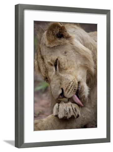 An African Lion, Panthera Leo, Licks its Paw-Gabby Salazar-Framed Art Print