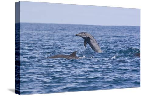 Pacific Spotted Dolphins, Stenella Attenuata, Swim Off the Coast of Costa Rica-Gabby Salazar-Stretched Canvas Print
