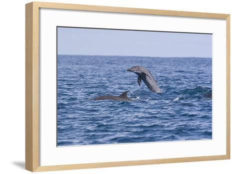 Pacific Spotted Dolphins, Stenella Attenuata, Swim Off the Coast of Costa Rica-Gabby Salazar-Framed Art Print