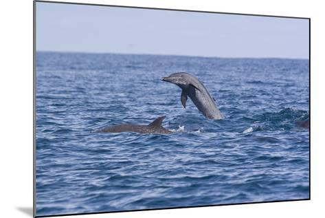 Pacific Spotted Dolphins, Stenella Attenuata, Swim Off the Coast of Costa Rica-Gabby Salazar-Mounted Photographic Print