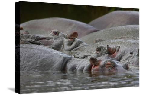 Tanzania, Africa: Muddy Hippos Cool of in a Watering Hole-Ben Horton-Stretched Canvas Print