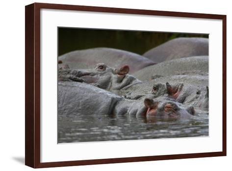 Tanzania, Africa: Muddy Hippos Cool of in a Watering Hole-Ben Horton-Framed Art Print
