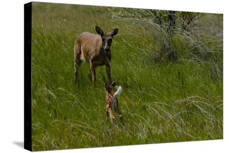 A White-Tail Deer Fawn Runs Towards its Mother-Michael Forsberg-Stretched Canvas Print