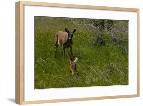 A White-Tail Deer Fawn Runs Towards its Mother-Michael Forsberg-Framed Art Print