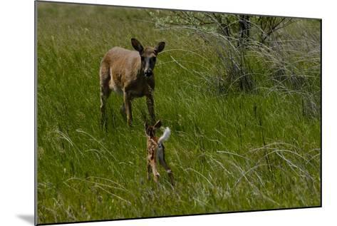 A White-Tail Deer Fawn Runs Towards its Mother-Michael Forsberg-Mounted Photographic Print