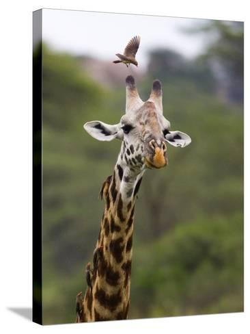 Ngorongoro Crater, Tanzania, Africa: Birds Eat Pesky Bugs Out of a Giraffe's Fur-Ben Horton-Stretched Canvas Print