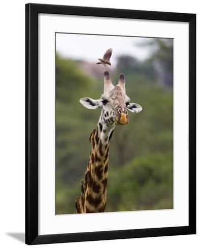 Ngorongoro Crater, Tanzania, Africa: Birds Eat Pesky Bugs Out of a Giraffe's Fur-Ben Horton-Framed Art Print