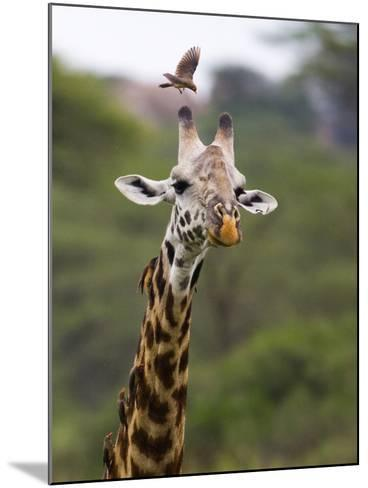 Ngorongoro Crater, Tanzania, Africa: Birds Eat Pesky Bugs Out of a Giraffe's Fur-Ben Horton-Mounted Photographic Print
