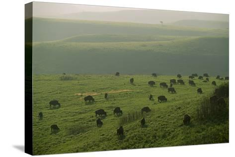 Bison Graze in the Flint Hills-Michael Forsberg-Stretched Canvas Print