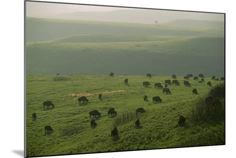 Bison Graze in the Flint Hills-Michael Forsberg-Mounted Photographic Print