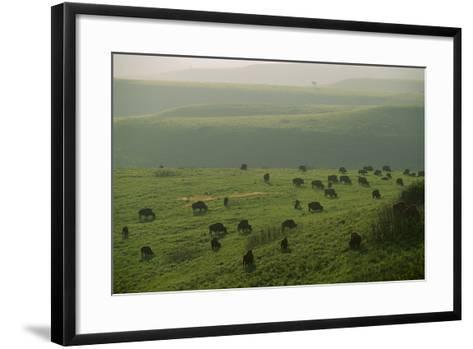 Bison Graze in the Flint Hills-Michael Forsberg-Framed Art Print