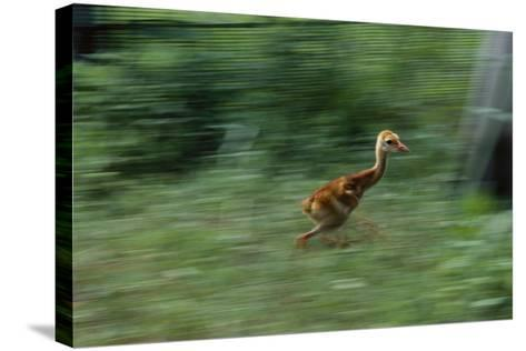 Captive-Raised Sandhill Chick Runs in Protected Yard, Audubon Nature Center, New Orleans-Michael Forsberg-Stretched Canvas Print