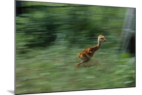 Captive-Raised Sandhill Chick Runs in Protected Yard, Audubon Nature Center, New Orleans-Michael Forsberg-Mounted Photographic Print