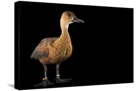An Indonesian Wandering Whistling Duck, Dendrocygna Arcuata Arcuata, at the Palm Beach Zoo-Joel Sartore-Stretched Canvas Print