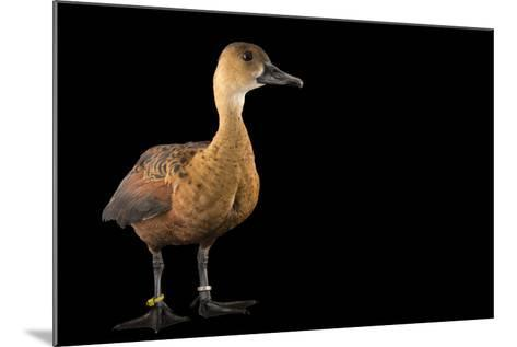 An Indonesian Wandering Whistling Duck, Dendrocygna Arcuata Arcuata, at the Palm Beach Zoo-Joel Sartore-Mounted Photographic Print