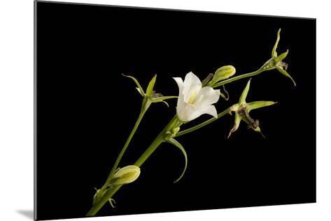 Peach-Leaf Bellflower, Campanula Persicifolia Alba-Joel Sartore-Mounted Photographic Print