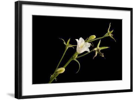 Peach-Leaf Bellflower, Campanula Persicifolia Alba-Joel Sartore-Framed Art Print