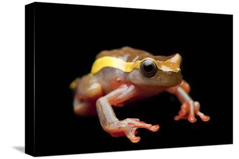 An Upper Amazon Tree Frog, Dendropsophus Bifurcus-Joel Sartore-Stretched Canvas Print