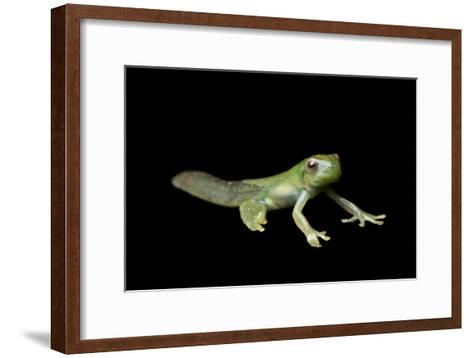 Metamorphosis of a Roque Treefrog, Hyloscirtus Phyllognathus-Joel Sartore-Framed Art Print