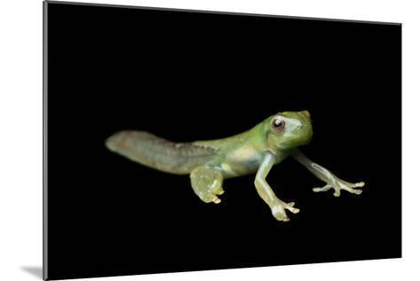 Metamorphosis of a Roque Treefrog, Hyloscirtus Phyllognathus-Joel Sartore-Mounted Photographic Print