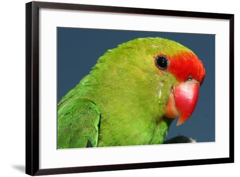 Close Up of a Black-Winged Lovebird, Agapornis Taranta-Cagan Sekercioglu-Framed Art Print