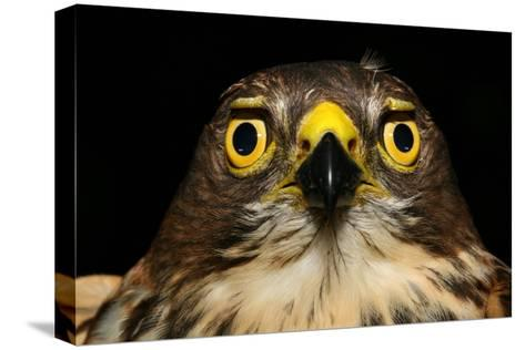 An African Goshawk Looking Directly at the Camera-Cagan Sekercioglu-Stretched Canvas Print