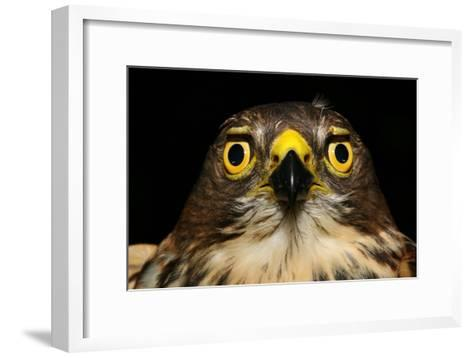 An African Goshawk Looking Directly at the Camera-Cagan Sekercioglu-Framed Art Print