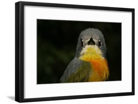 Portrait of a Sulphur-Breasted Bushshrike, Telophorus Sulfureopectus, Looking at the Camera-Cagan Sekercioglu-Framed Art Print