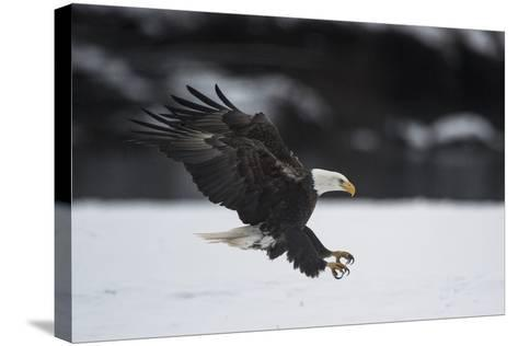 Portrait of a Bald Eagle, Haliaeetus Leucocephalus, Coming in for a Landing-Bob Smith-Stretched Canvas Print