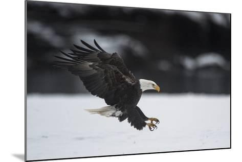 Portrait of a Bald Eagle, Haliaeetus Leucocephalus, Coming in for a Landing-Bob Smith-Mounted Photographic Print