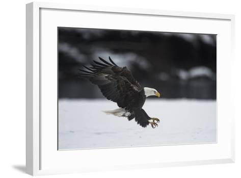 Portrait of a Bald Eagle, Haliaeetus Leucocephalus, Coming in for a Landing-Bob Smith-Framed Art Print