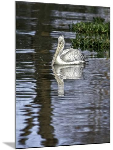 A Great White Pelican in a Freshwater Lake Rich in Wildlife with over 400 Different Bird Species-Babak Tafreshi-Mounted Photographic Print