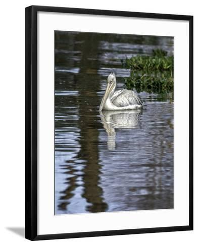 A Great White Pelican in a Freshwater Lake Rich in Wildlife with over 400 Different Bird Species-Babak Tafreshi-Framed Art Print