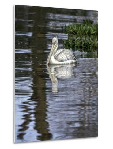 A Great White Pelican in a Freshwater Lake Rich in Wildlife with over 400 Different Bird Species-Babak Tafreshi-Metal Print