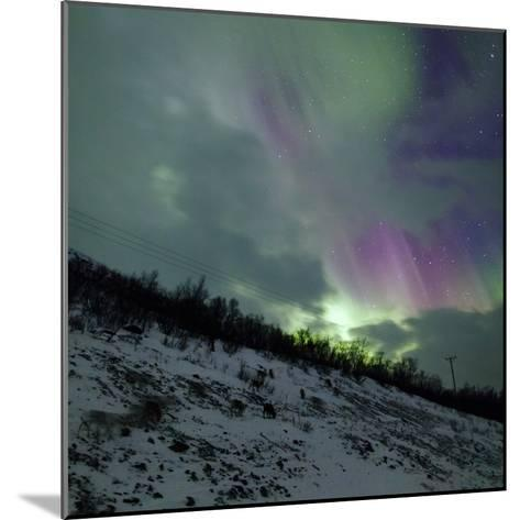 Aurora Borealis Above Reindeer in a Snow-Covered Winter Landscape-Babak Tafreshi-Mounted Photographic Print