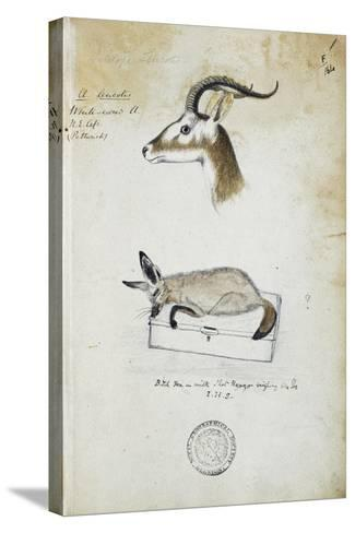 Drawing of an Antelope and a Fox-John Hanning Speke-Stretched Canvas Print