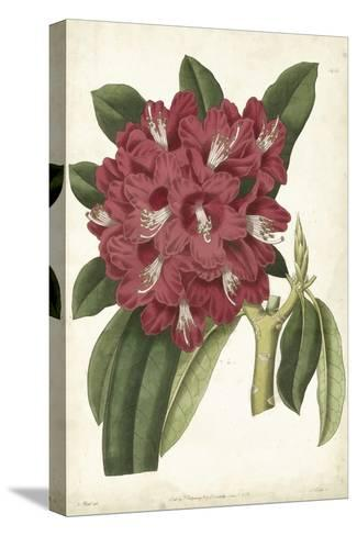 Antique Rhododendron II-Curtis-Stretched Canvas Print