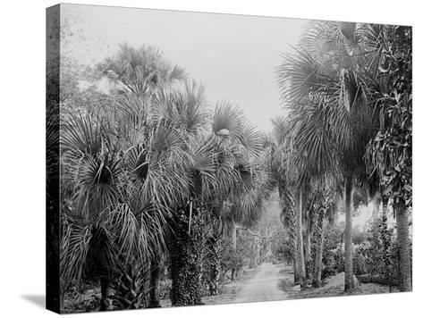 Palmettos at Bostroms, Ormond, Fla.--Stretched Canvas Print