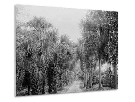 Palmettos at Bostroms, Ormond, Fla.--Metal Print