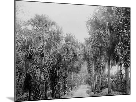 Palmettos at Bostroms, Ormond, Fla.--Mounted Photo