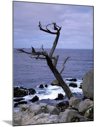 Scraggly Cypress Tree on the Central California Coast-Carol Highsmith-Mounted Photo