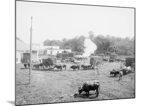 Weighing Sugar Cane before Unloading at the Mill--Mounted Photo