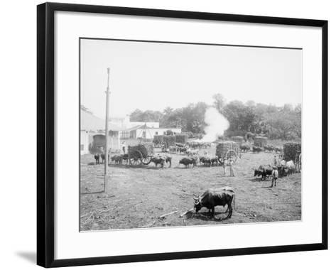 Weighing Sugar Cane before Unloading at the Mill--Framed Art Print