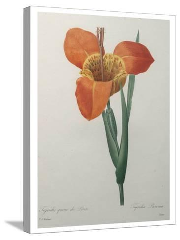 Tiger or Shell Flower-Pierre-Joseph Redoute-Stretched Canvas Print