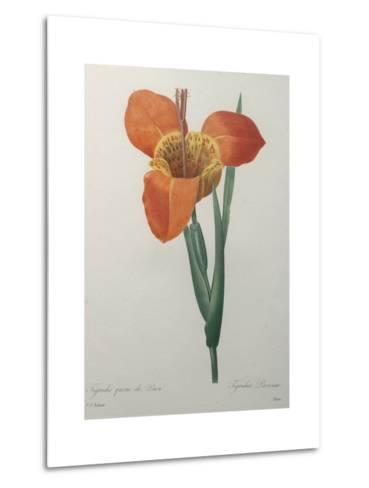 Tiger or Shell Flower-Pierre-Joseph Redoute-Metal Print