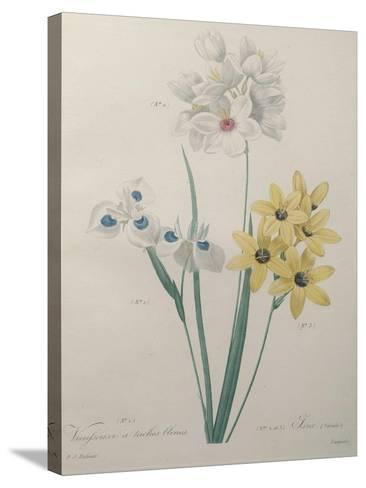 Corn Lilly with Blue Spots-Pierre-Joseph Redoute-Stretched Canvas Print