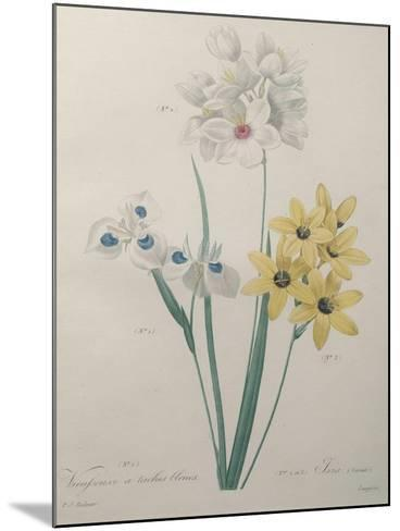 Corn Lilly with Blue Spots-Pierre-Joseph Redoute-Mounted Art Print