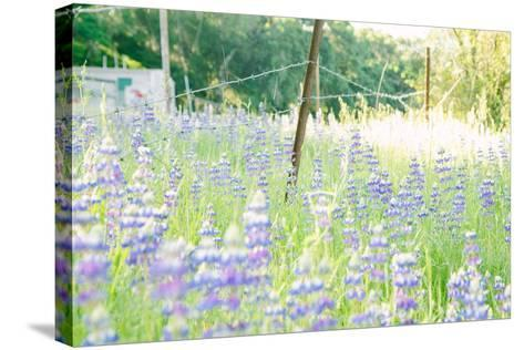 Roadside Lupine Wildflowers in Spring-Vincent James-Stretched Canvas Print